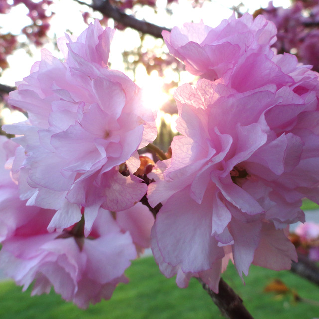 Kwanzan Cherry Blossoms - Photograph by Christopher Spicer